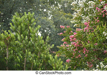 Crepe myrtle blooms in morning light. Crepe myrtle or Lagerstroemia flowers. Photo shot in Northeast Florida. Letterbox image.