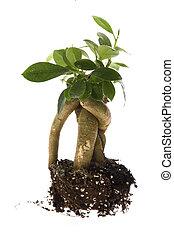 crescendo, árvore bonsai, solo