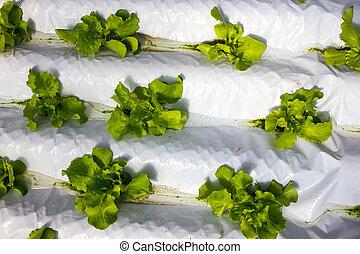 crescendo, bebê, sistema, plantas, hydroponic