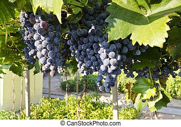 crescendo, bio, uvas, norte, bulgária