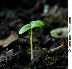 crescendo, broto, semente, soil., verde