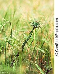 crescendo, campo, erva daninha