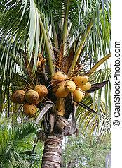 crescendo, cocos