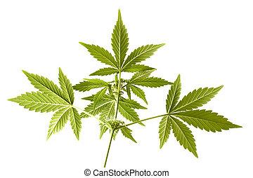 crescendo, fim, flor, marijuana, cima