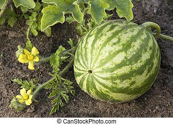 crescendo, melancia, field.