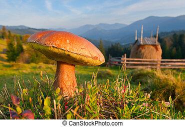 crescendo, montanhas, carpathian, comestível, fungos