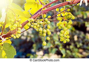 crescendo, pôr do sol, uvas