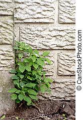 crescendo, parede, erva daninha, saída