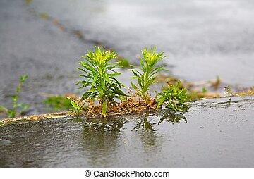 crescendo, pavimento, rachas, erva daninha