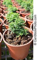 crescendo, pequeno, planta