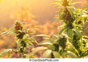 crescendo, planta, luz, manhã, iluminado, cannabis, morno, ao ar livre