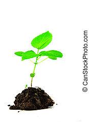 crescendo, planta, verde, e, solo
