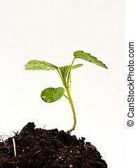 crescendo, semente, solo, broto, verde