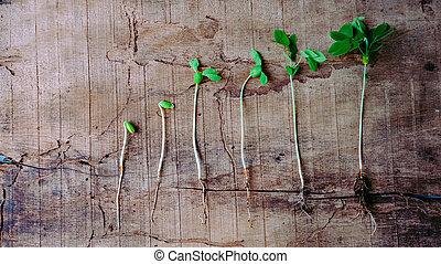 crescendo, sequência, bebê, germinação, plantas, cima