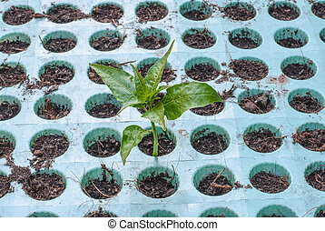crescendo, solo, seedling, verde, saída
