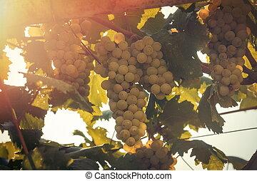 crescendo, uvas, luz solar