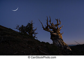 Crescent moon and stars over Ancient Bristlecone Pine Trees