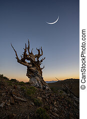 Crescent moon over an Ancient Bristlecone Pine Tree in Bishop California