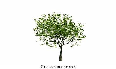 crescente, albero, con, canale alfa