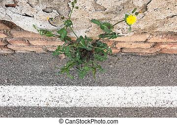 crescente, asfalto, fiore, attraverso