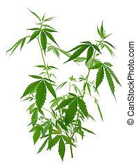 crescente, canapa, (marijuana), giovane, piante, nuovo
