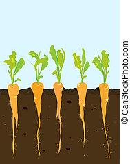 crescente, carote