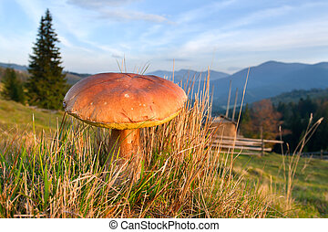 crescente, montagne,  carpathian, commestibile, funghi