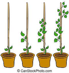 crescente, pianta, palcoscenici