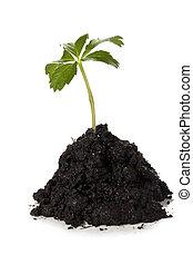 crescente, suolo, pianta, verde, tumulo