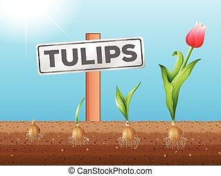 crescente, tulips, sotterraneo