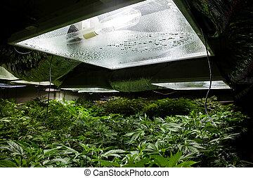 crescer, sala, marijuana