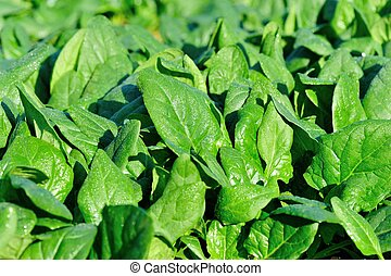crescimento, espinafre, verde