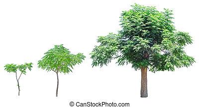 crescimento, fases, de, árvore
