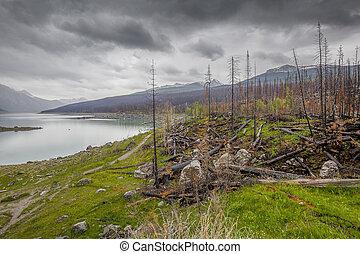 crescita nuova, secondo, uno, fuoco foresta, -, jasper np, canada