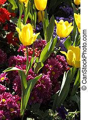 cresciuto, exquisite., su, parchi, tulips