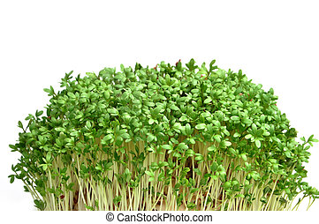 Cress isolated on white background. Young plants.