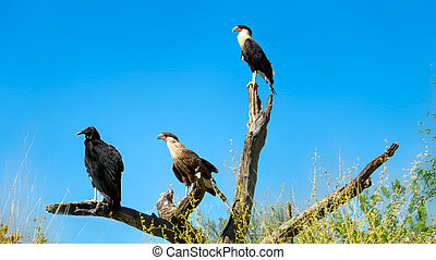 Crested Caracara Caracara cheriway Perched on Branch - ...