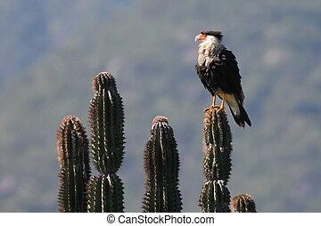 Crested Caracara on a Cactus