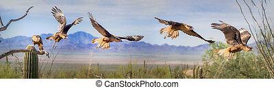 Crested Caracara Panorama Sequence Panorama Flight Multiple ...