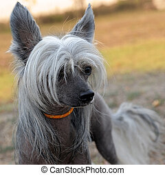 crested, chien, chinois