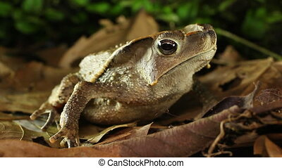 Crested Forest Toad Rhinella dapsil - Fronm Yasuni National...