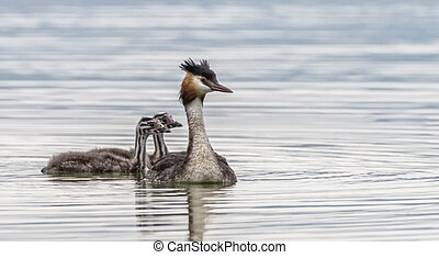 Crested grebe duck, podiceps cristatus, and babies floating on water lake