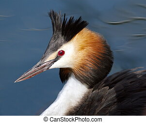 Crested grebe duck (podiceps cristatus) floating on water