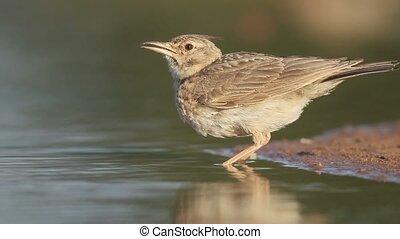 Crested lark, Galerida cristata, Single bird by water,...