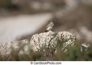 Crested Lark in Spain Cabo de Gata.