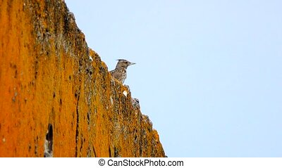 Crested Lark on the stone wall