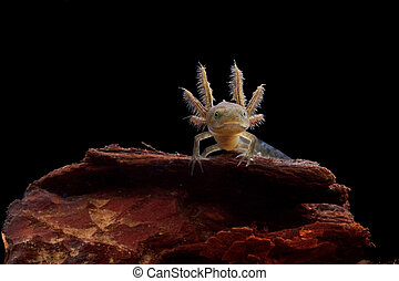 crested newt larve - Crested newt larve showing its gills...