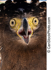 Crested serpent-eagle is a medium-sized bird of prey that ...