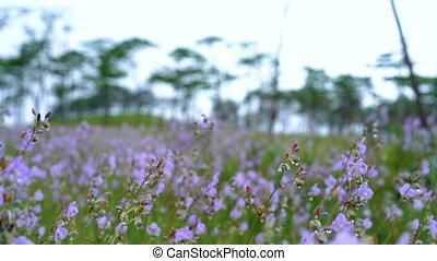Crested serpent flowers garden. Sweet Purple flowers field.