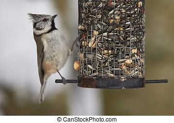 Crested Tit - Crested tit eating at the bird feeder in the...